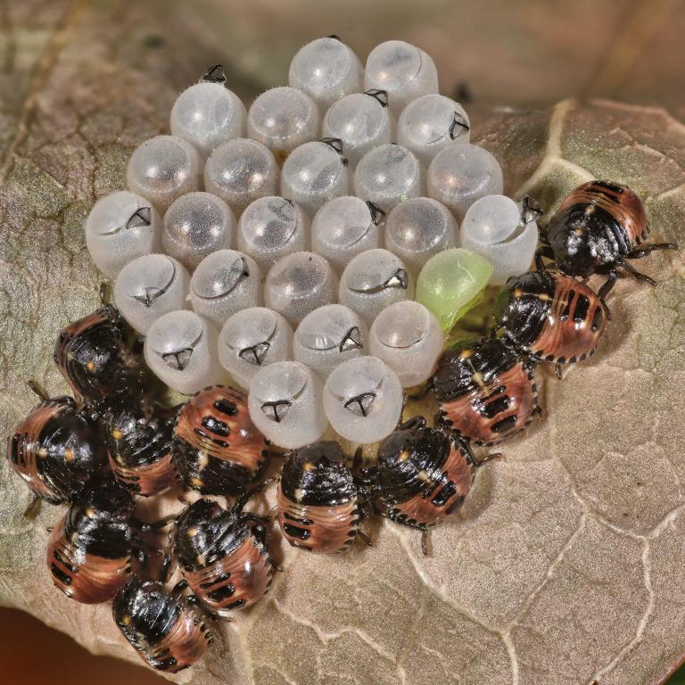 <p>Common green shieldbug eggs hatching, Commended</p>