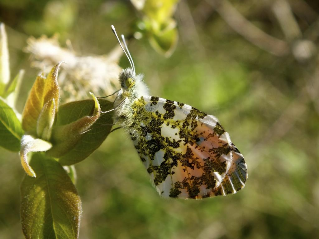 Orange-tip butterfly, Commended