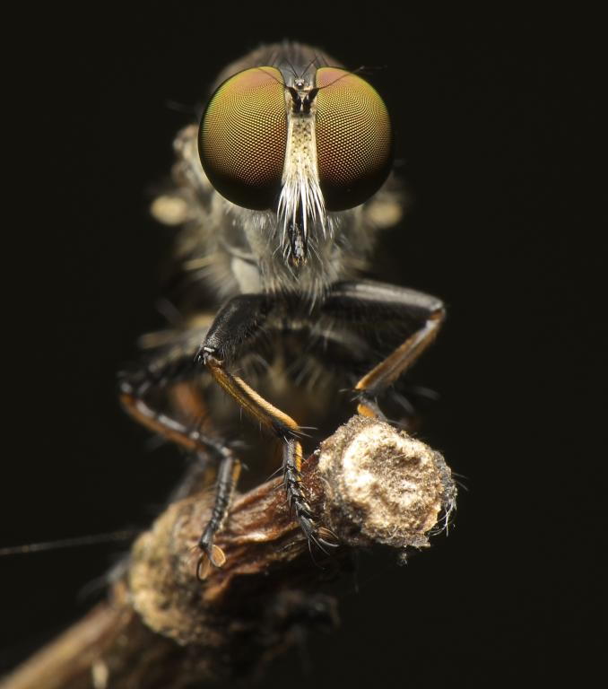 Robber Fly, Commended