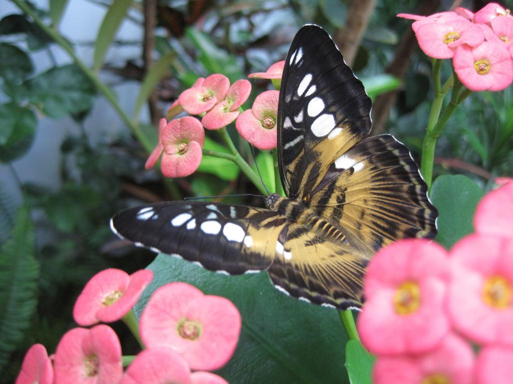 <p>Brown Clipper butterfly, Specially Commended</p>