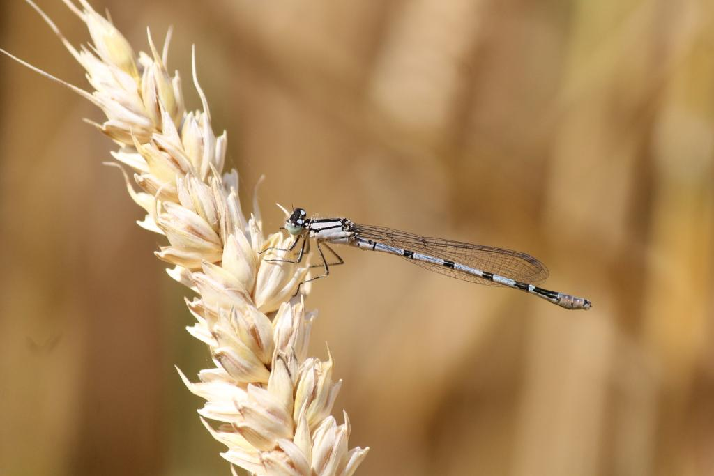 <p>Azure Damselfly on an ear of wheat, Commended</p>