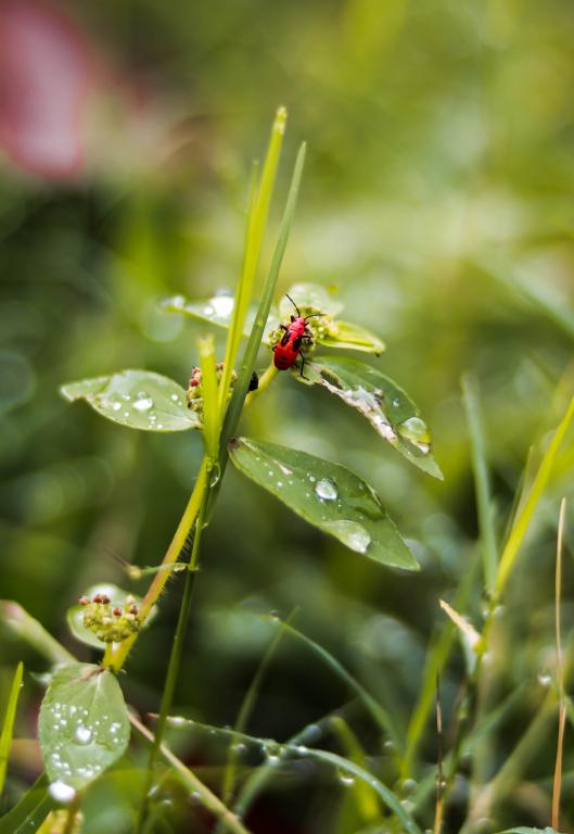 Red hemipteran,Commended