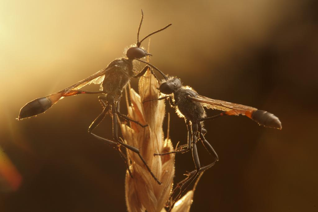 An aggregation of two: Ammophila wasps at dawn, Commended