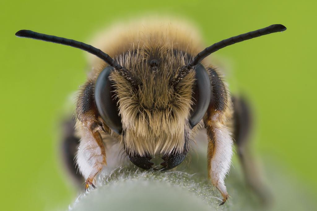 <p>Solitary Bee - &nbsp;Megachile willughbiella, Commended</p>