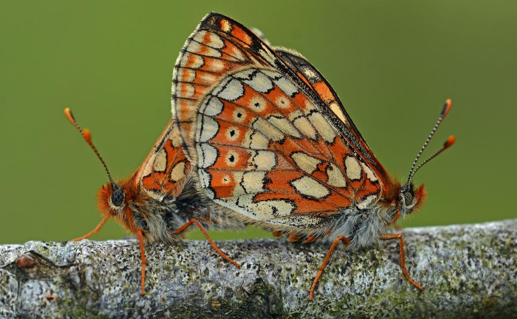 Marsh Fritillaries, Commended