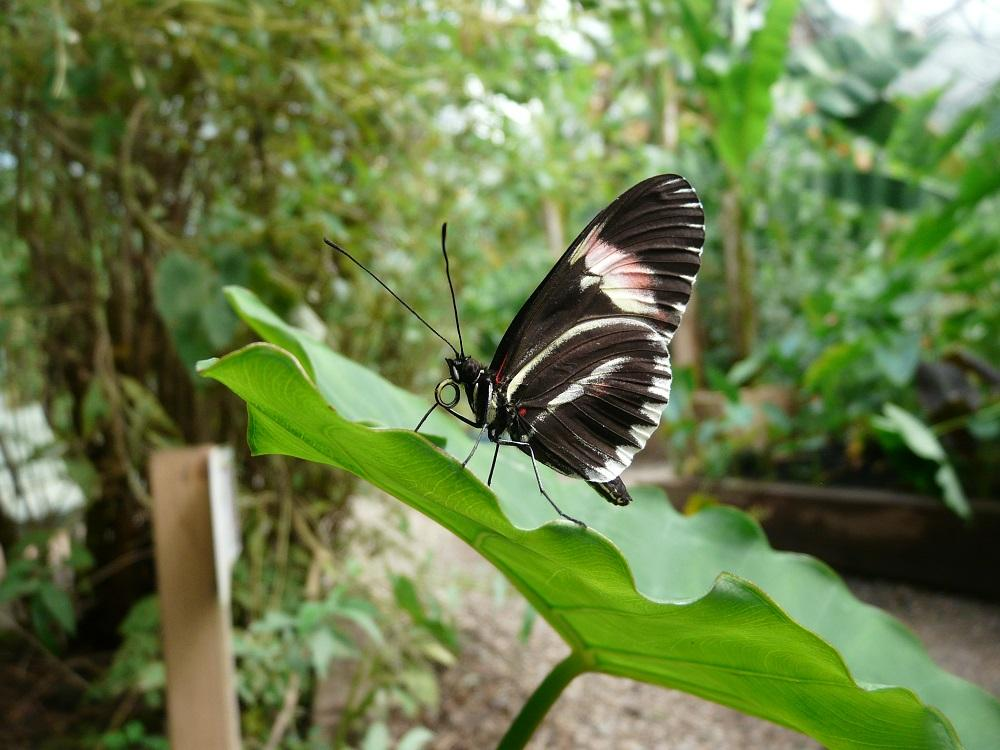 Mormon Butterfly, Commended