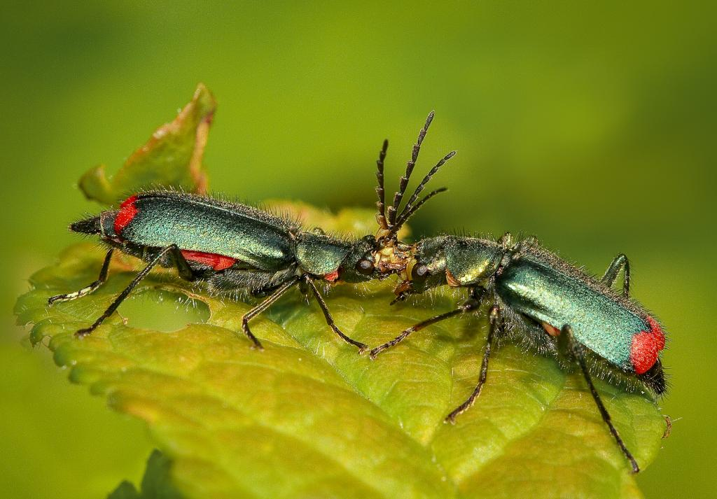Red Tipped Flower Beetles, Commended