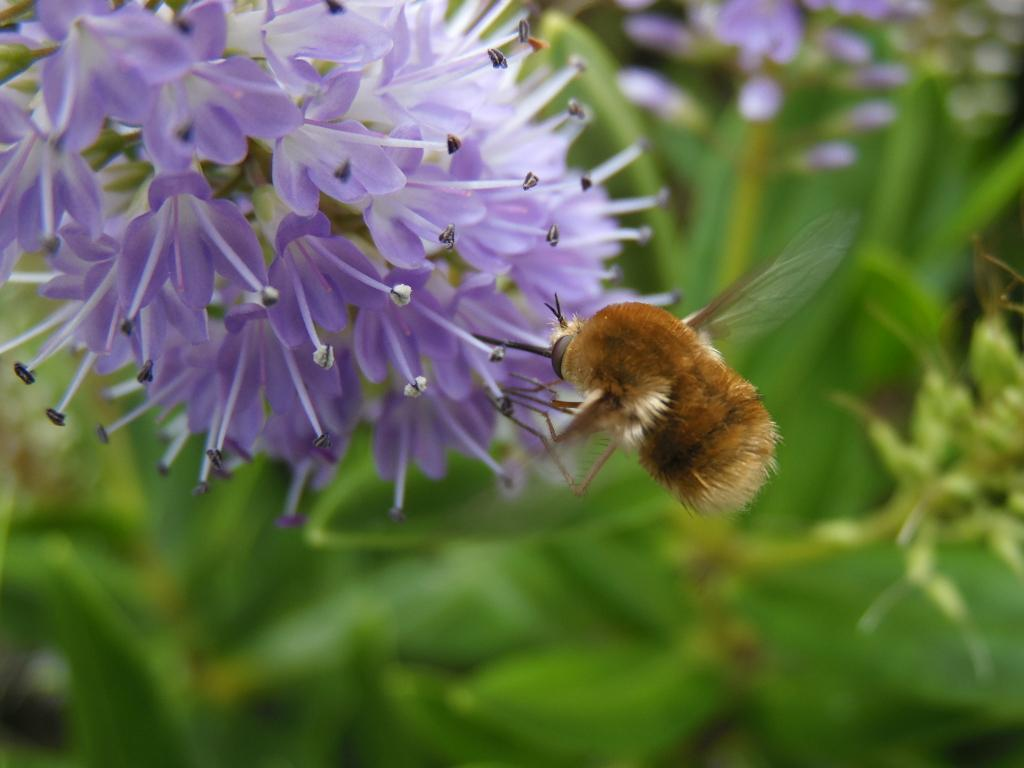 <p>Flying and feeding bee-fly, Specially Commended</p>
