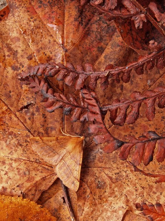 <p>Autumnal Feathered Thorn moth, Commended</p>