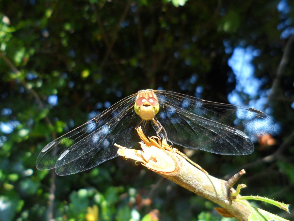 Green dragonfly, Commended
